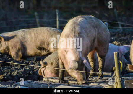 Dirty pigs outdoor in winter light closeup - Stock Photo