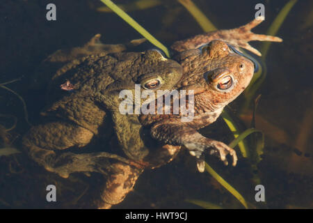 Mating Common Toads (Bufo bufo) in a pond. - Stock Photo