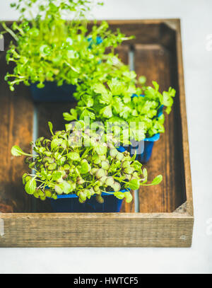 Radish kress, water kress and coriander sprouts in wooden box - Stock Photo
