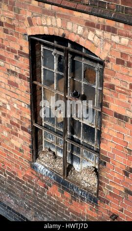 Pigeon droppings piled up on a window uk - Stock Photo