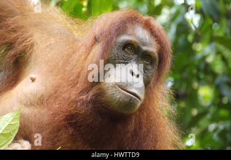 Sumatran Orangutan, Indonesia - Stock Photo