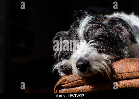 a black and white dog (cross between Jack Russell and Bichon Frise ) relaxes in a shaft of light while resting on - Stock Photo