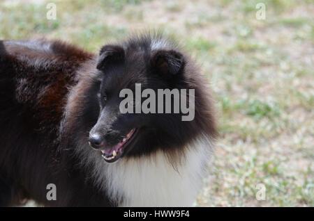 Great black and white shetland sheepdog. - Stock Photo