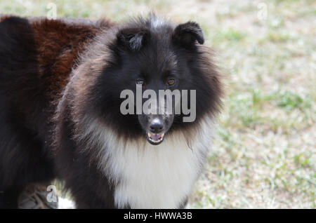 Beautiful black and white shetland sheepdog. - Stock Photo