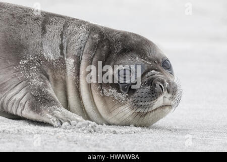 Southern Elephant Seal - Stock Photo