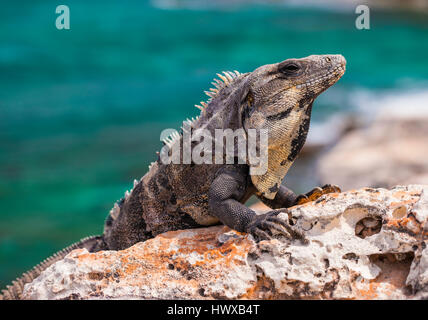 close up of Iguana lizard worming up on the rock in Mexico - Stock Photo
