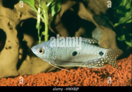 Gepunkteter Fadenfisch, Punktierter Fadenfisch, Blauer Fadenfisch, Trichopodus trichopterus, Trichogaster trichopterus, - Stock Photo