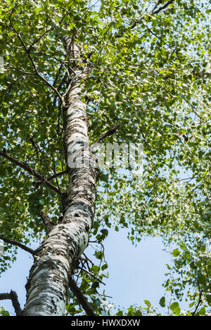 Trunk wood of white birch with green branches with leaves on sky background. Concept of the season, ecology, simplicity - Stock Photo