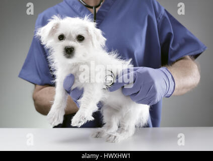 Veterinarian doctor examining a Maltese Westie cross puppy with a stethoscope - Stock Photo