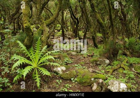 Misty forest in tree heath, Tenerife, Canary Islands, Spain - Stock Photo