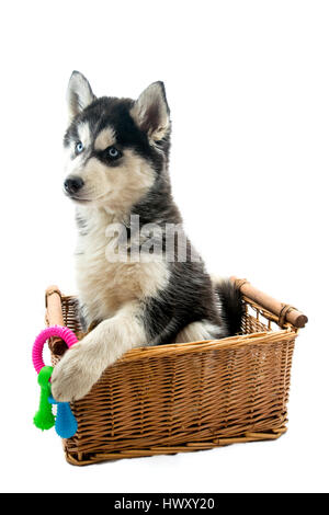 Very cute adorable 14 week old Siberian husky puppy in a basket - Stock Photo