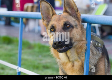 Portrait of German Shepherd looking seriously while waiting for the master chained at iron fence - Stock Photo