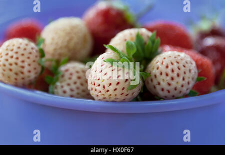 ripe varietal white and red strawberry lying in a lavender Cup - Stock Photo