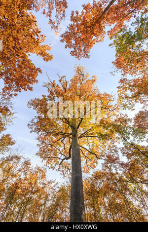 France, Allier, Tronçais forest, Saint-Bonnet-Troncais, remarkable sessile oak Stebbing in autumn (Quercus petraea) - Stock Photo
