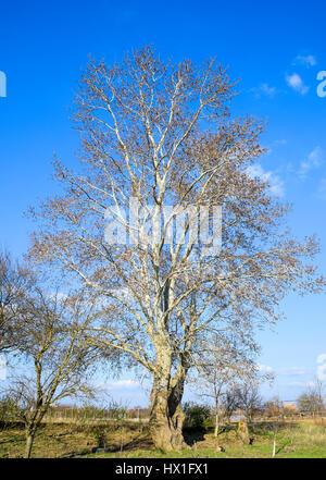 Blooming silver poplar. Silver poplar tree in spring. Poplar fluff from flowers - earrings. - Stock Photo