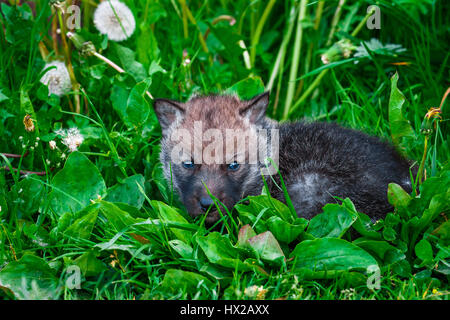 European Gray Wolf Cubs in a Grass in a Spring Day - Stock Photo