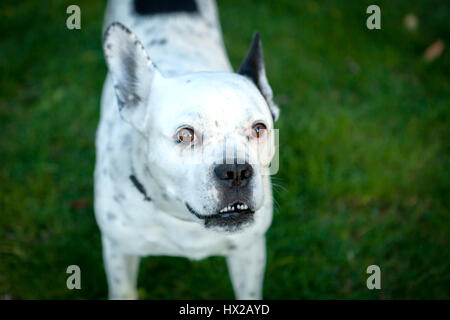 Funny bulldog white and black on the grass looking at camera - Stock Photo