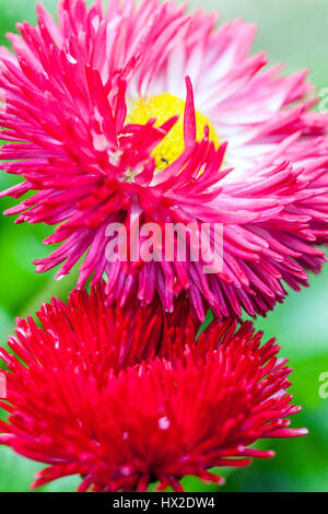 Garden cultivars of large flowers daisies - Stock Photo