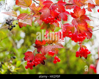 Guelder Rose shrub in bright red autumn colour. Vivid red berries and red leaves also wild privet berries, .Aston - Stock Photo