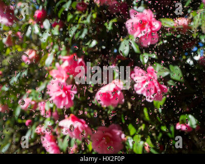 Camellia ' Donation' in full bloom seen through a window with focus on the raindrops on the glass and reflections - Stock Photo