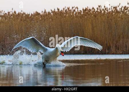 white swan ready to fly from the surface of the lake,love, fidelity symbol, a symbol of purity, atah white, white - Stock Photo