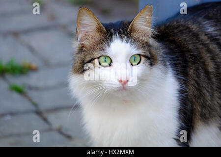 Beautiful Green Eyed and Fluffy Cat - Stock Photo
