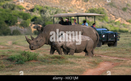 An adult and a  baby white rhino stand next to a tourist vehicle during a safari on a private game reserve in South - Stock Photo