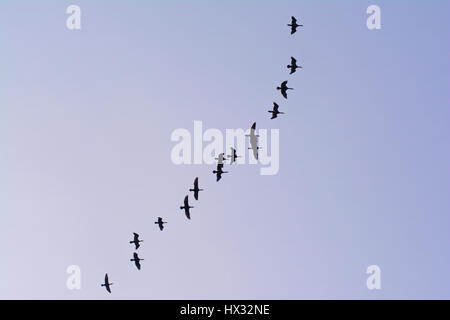 Silhouettes of great cormorants in flight on a clear sky -  Phalacrocorax carbo - Stock Photo