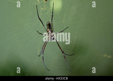 Golden silk orb-weaver (Nephila pilipes) Spider on web - Stock Photo