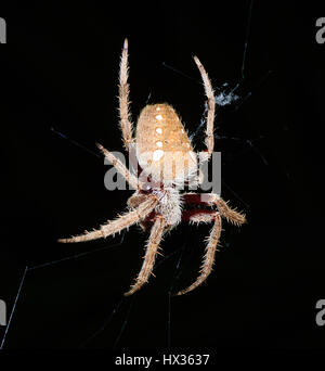 Australian Garden Orb Weaver Spiders ephila Edulis In Their Web
