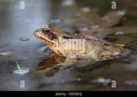 European common frog (Rana temporaria) sitting in shallow water, Malscheid Nature Reserve, Siegerland, North Rhine - Stock Photo
