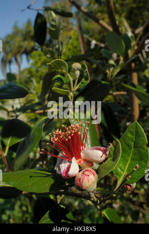 Flowering Feijoa (Acca sellowiana), aka Pineapple Guava, Guavasteen, leaves, flower, flowerbud flower bud - Stock Photo