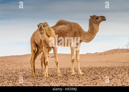 Mother and baby camel - Stock Photo