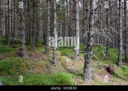 Scots Pines, Pinus sylvestris, growing in forest plantation Braemar, Scotland, UK - Stock Photo