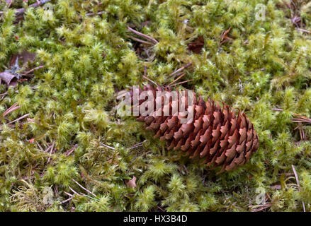 Norway Spruce,  Picea abies, single pine cone lying on moss, Linn of Dee, Scotland, UK - Stock Photo