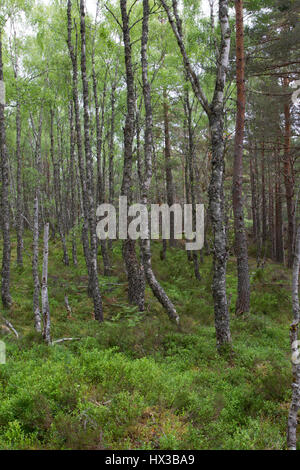 Silver Birch, Betula pendula, trees growing in woodland, Rothiemurchus Estate, The Highlands, Scotland, UK. - Stock Photo