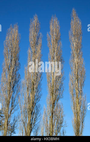 Four Lombardy Poplar Trees, Populus nigra italica, a variety of Black Poplar. Gloucestershire, UK - Stock Photo