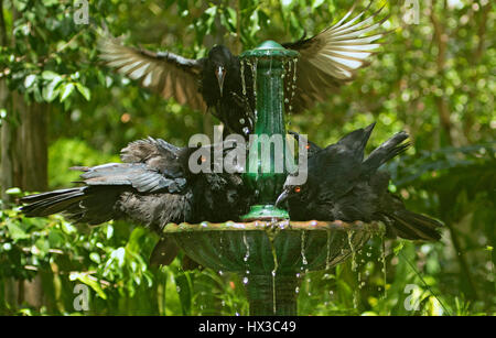 Humorous view of family of white-winged choughs Corcorax melanorhamphos cooling off in running water of garden fountain - Stock Photo