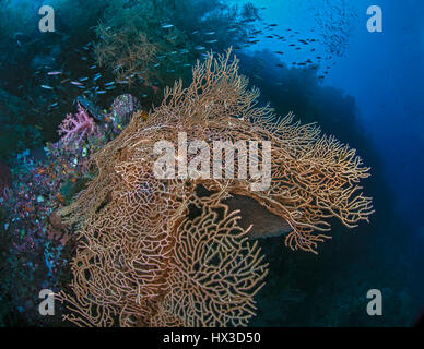 An orange sea fan with resident hawkfish on a vertical wall is contorted by a stiff ocean current. Raja Ampat, Indonesia. - Stock Photo