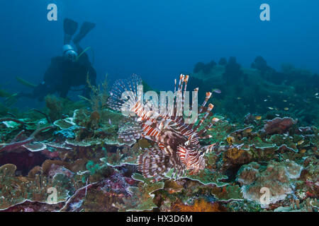 Seascape image of lionfish displaying its ornate fins on coral reef with scuba diver in blue water background. Raja - Stock Photo