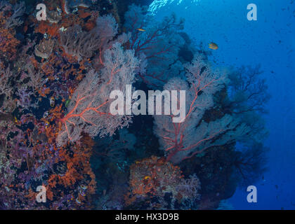 Coral reef wall populated by luminescent sea fans. Raja Ampat, Indonesia. - Stock Photo