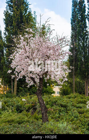 View of almond tree blooming with beautiful flowers in february in the Algarve region, Portugal. almond tree blossom - Stock Photo