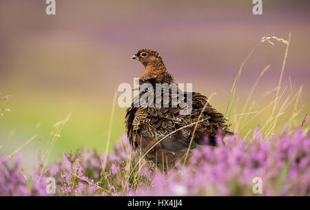 Red Grouse, Male or Cockbird, stood in blooming purple heather in August at the start of the grouse shooting season - Stock Photo