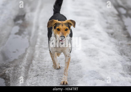 Mixed breed stray female dogs running on a country road covered with melting snow at  winter day - Stock Photo