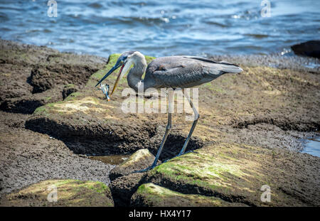 Great Blue Heron fishing on the Chesapeake Bay catching a Maryland Blue Crab - Stock Photo