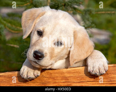 Cute Yellow Labrador Retriever puppy looking from behind a wood board. - Stock Photo