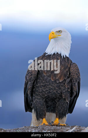 Portrait of mature Bald eagle sitting on the ground, looking alert. - Stock Photo