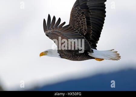American Bald Eagle in flight, in cloudy winter sky, - Stock Photo
