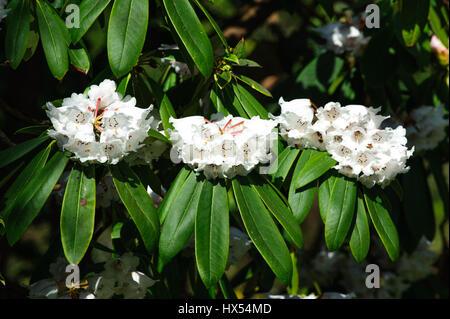 Azalea  flowers in the garden. Rhododendron hybr Roza stevenson - Stock Photo