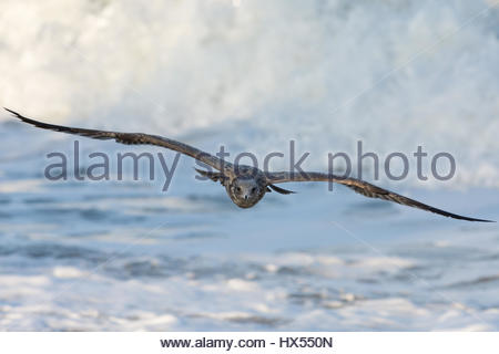 Head on view of a gull flying into shore with its wings extended. Set off by a breaking ocean wave in the background. - Stock Photo